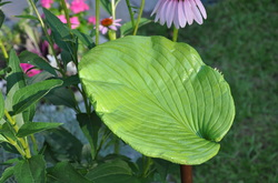 Cement hosta leaf. Handpainted garden art. Attaches to copper stake.